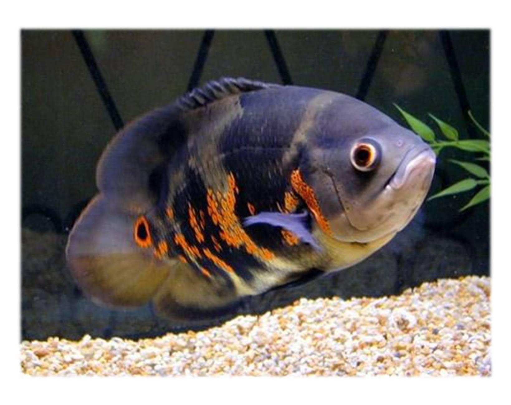 Аквариумные рыбки фото названия описание видов рыб